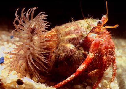 Краб-отшельник и актиния