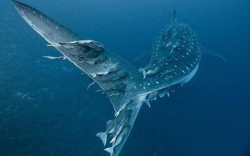 Рыба прилипала и акула