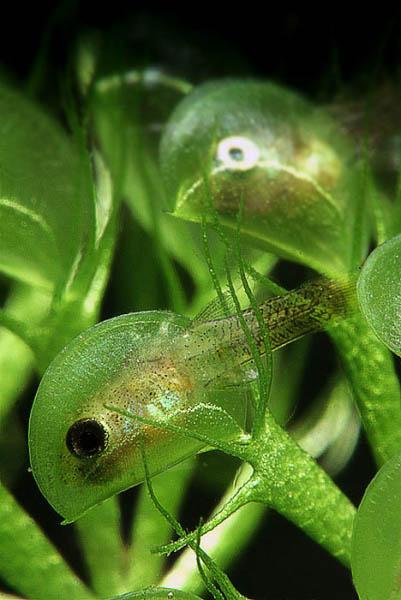 Пузырчатка – растение рыболов