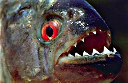 Самая свирепая рыба