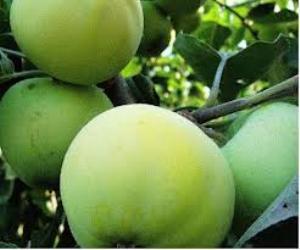 Зимние сорта яблок в Украине