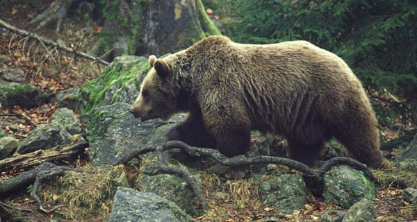 Бурый медведь сколько весит?
