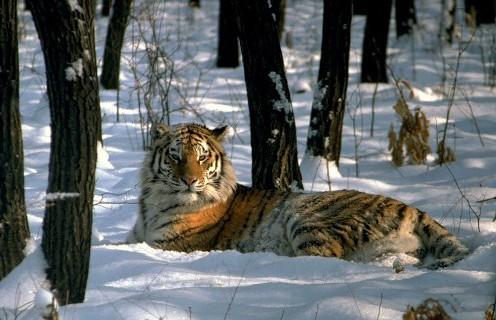 Интересный факт об амурском тигре