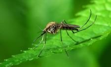 Сколько весит комар