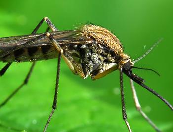 голодный комар