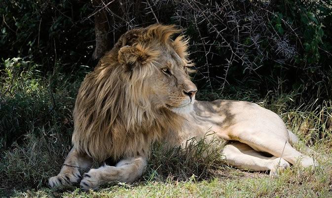 Сколько весит лев