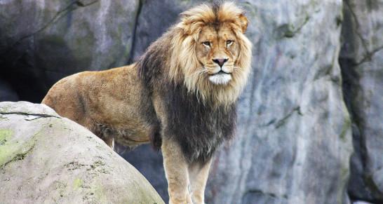 Сколько весит лев?
