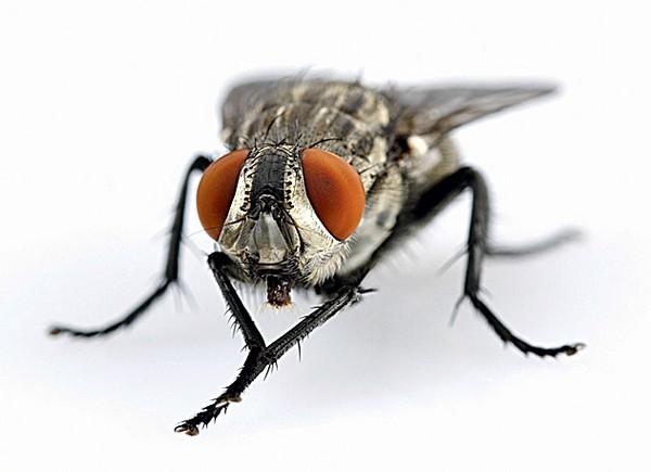 сколько весит муха